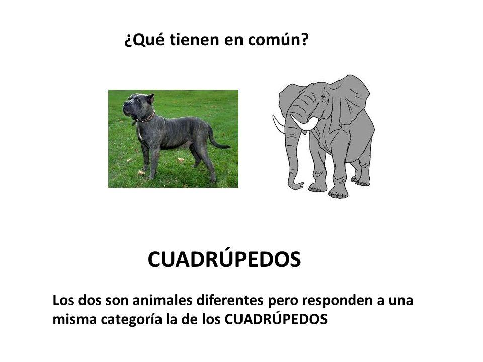 ¿Qué tienen en común? CUADRÚPEDOS Los dos son animales diferentes pero responden a una misma categoría la de los CUADRÚPEDOS