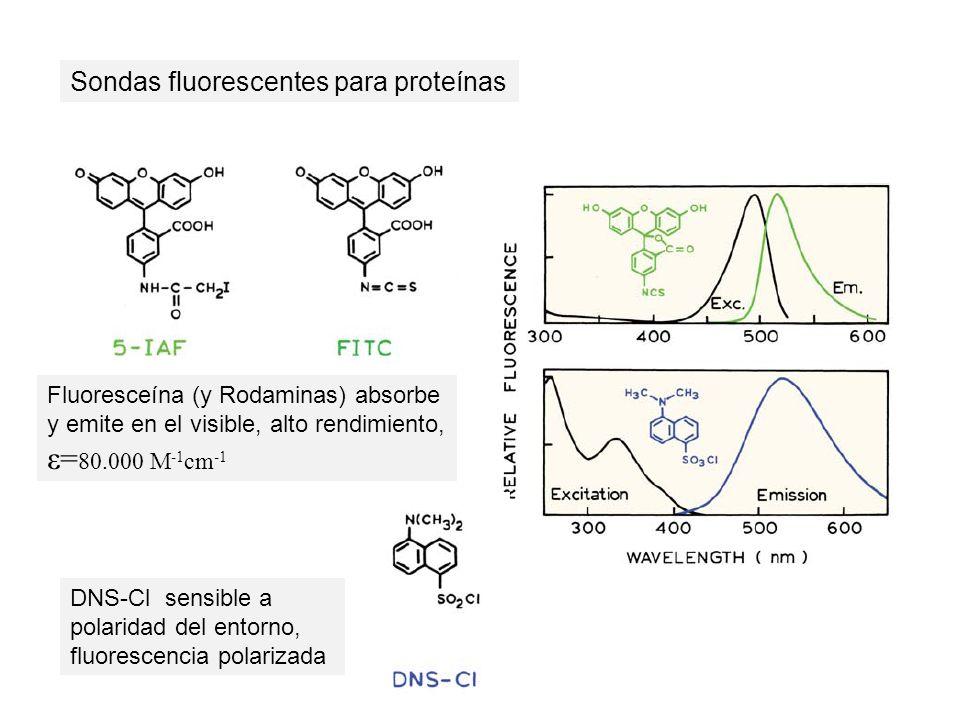 Sondas fluorescentes para proteínas DNS-Cl sensible a polaridad del entorno, fluorescencia polarizada Fluoresceína (y Rodaminas) absorbe y emite en el