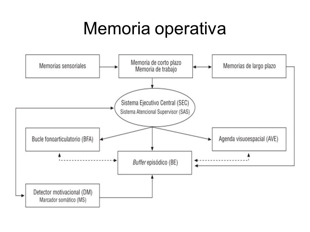 MEMORIA A LARGO PLAZO La información que se considera lo suficientemente relevante como para volver a utilizarla en algún momento posterior se transfiere de la memoria de corto plazo a la memoria de largo plazo.