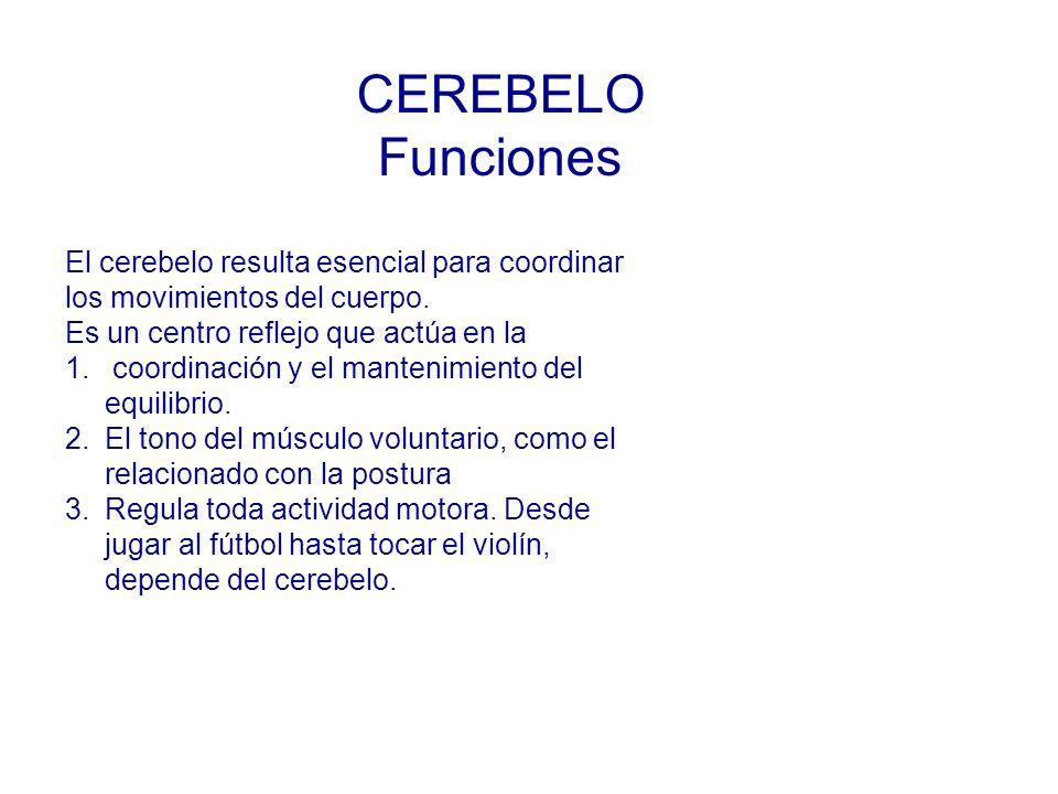 El cerebelo resulta esencial para coordinar los movimientos del cuerpo.