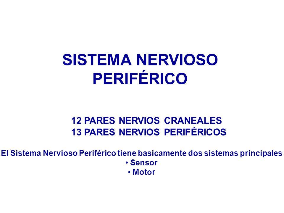 SISTEMA NERVIOSO PERIFÉRICO 12 PARES NERVIOS CRANEALES 13 PARES NERVIOS PERIFÉRICOS El Sistema Nervioso Periférico tiene basicamente dos sistemas principales Sensor Motor