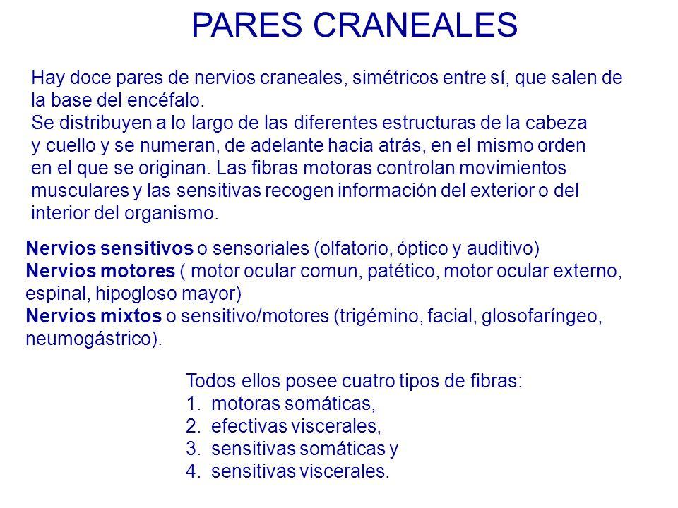 Hay doce pares de nervios craneales, simétricos entre sí, que salen de la base del encéfalo.