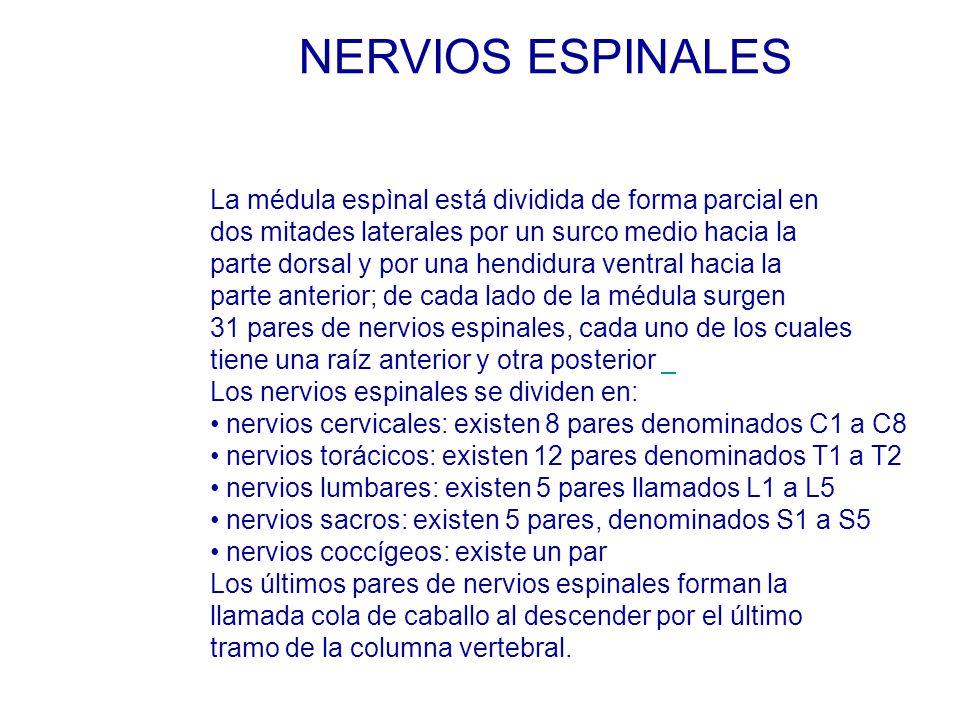La médula espìnal está dividida de forma parcial en dos mitades laterales por un surco medio hacia la parte dorsal y por una hendidura ventral hacia la parte anterior; de cada lado de la médula surgen 31 pares de nervios espinales, cada uno de los cuales tiene una raíz anterior y otra posterior Los nervios espinales se dividen en: nervios cervicales: existen 8 pares denominados C1 a C8 nervios torácicos: existen 12 pares denominados T1 a T2 nervios lumbares: existen 5 pares llamados L1 a L5 nervios sacros: existen 5 pares, denominados S1 a S5 nervios coccígeos: existe un par Los últimos pares de nervios espinales forman la llamada cola de caballo al descender por el último tramo de la columna vertebral.