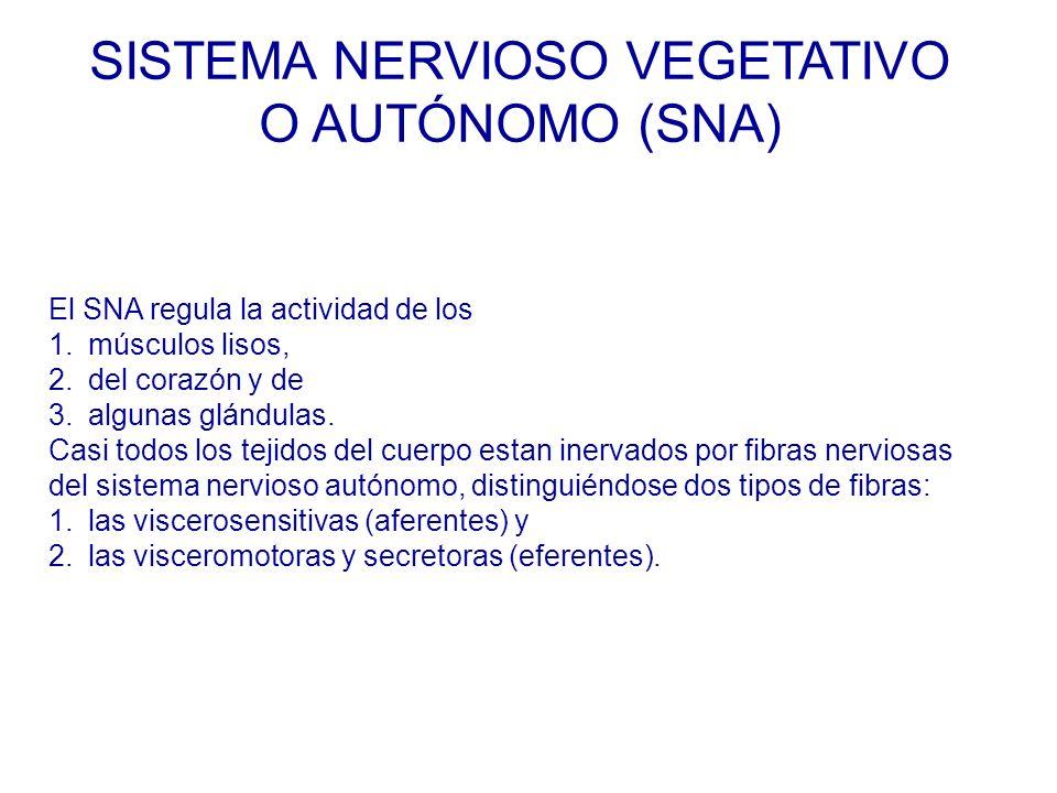 El SNA regula la actividad de los 1.músculos lisos, 2.del corazón y de 3.algunas glándulas.