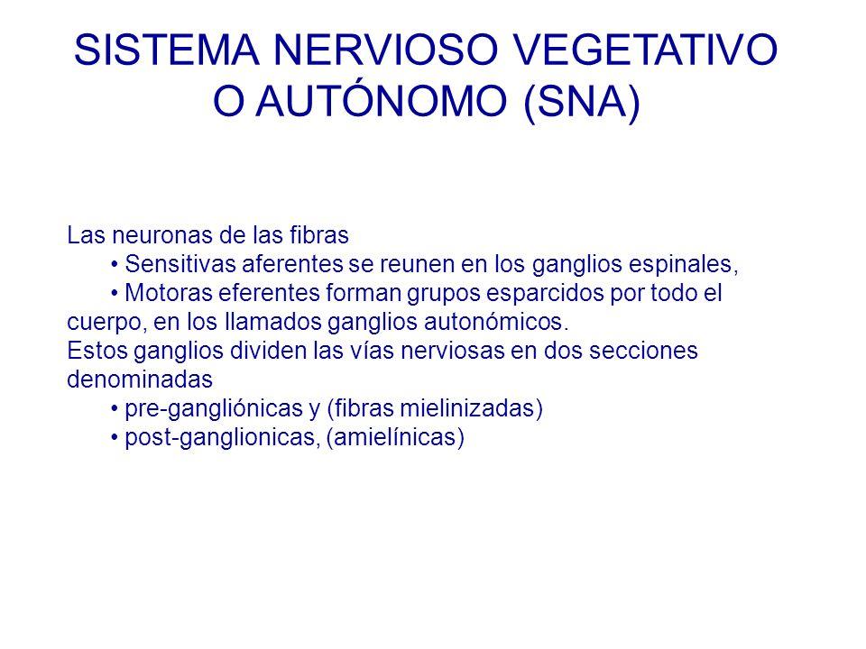 Las neuronas de las fibras Sensitivas aferentes se reunen en los ganglios espinales, Motoras eferentes forman grupos esparcidos por todo el cuerpo, en los llamados ganglios autonómicos.
