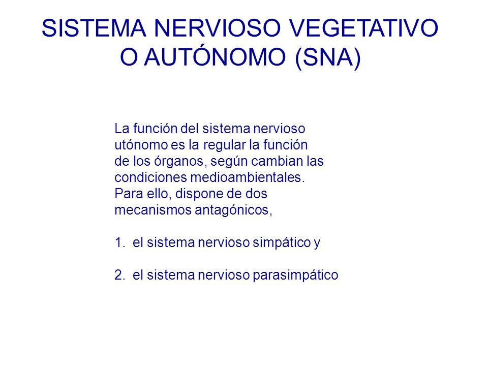 La función del sistema nervioso utónomo es la regular la función de los órganos, según cambian las condiciones medioambientales.