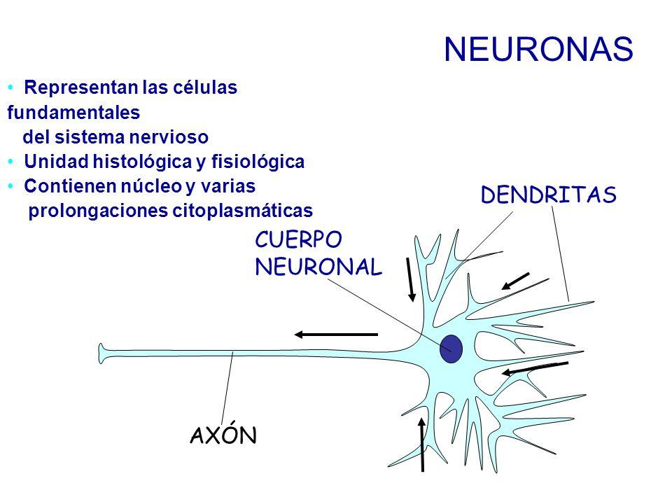 Representan las células fundamentales del sistema nervioso Unidad histológica y fisiológica Contienen núcleo y varias prolongaciones citoplasmáticas NEURONAS DENDRITAS AXÓN CUERPO NEURONAL