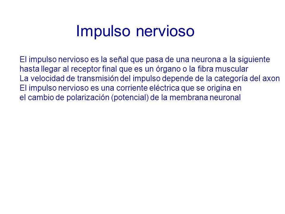 Impulso nervioso El impulso nervioso es la señal que pasa de una neurona a la siguiente hasta llegar al receptor final que es un órgano o la fibra muscular La velocidad de transmisión del impulso depende de la categoría del axon El impulso nervioso es una corriente eléctrica que se origina en el cambio de polarización (potencial) de la membrana neuronal