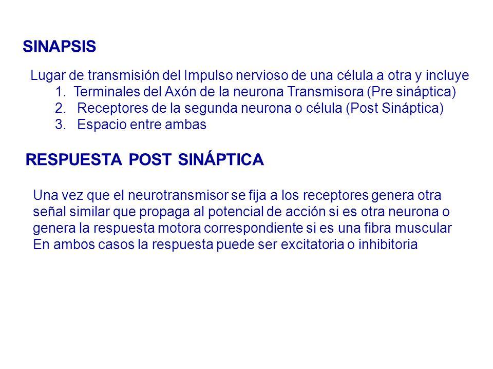 SINAPSIS Lugar de transmisión del Impulso nervioso de una célula a otra y incluye 1.Terminales del Axón de la neurona Transmisora (Pre sináptica) 2.