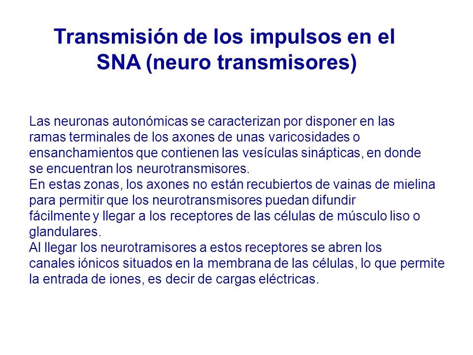 Las neuronas autonómicas se caracterizan por disponer en las ramas terminales de los axones de unas varicosidades o ensanchamientos que contienen las vesículas sinápticas, en donde se encuentran los neurotransmisores.