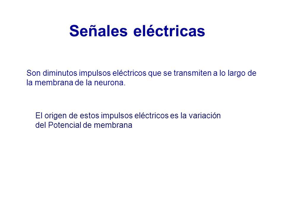 Son diminutos impulsos eléctricos que se transmiten a lo largo de la membrana de la neurona.