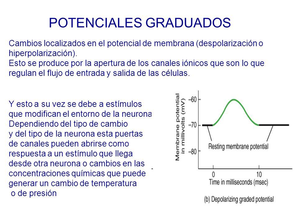 POTENCIALES GRADUADOS Y esto a su vez se debe a estímulos que modifican el entorno de la neurona Dependiendo del tipo de cambio y del tipo de la neurona esta puertas de canales pueden abrirse como respuesta a un estímulo que llega desde otra neurona o cambios en las concentraciones químicas que puede generar un cambio de temperatura o de presión Cambios localizados en el potencial de membrana (despolarización o hiperpolarización).