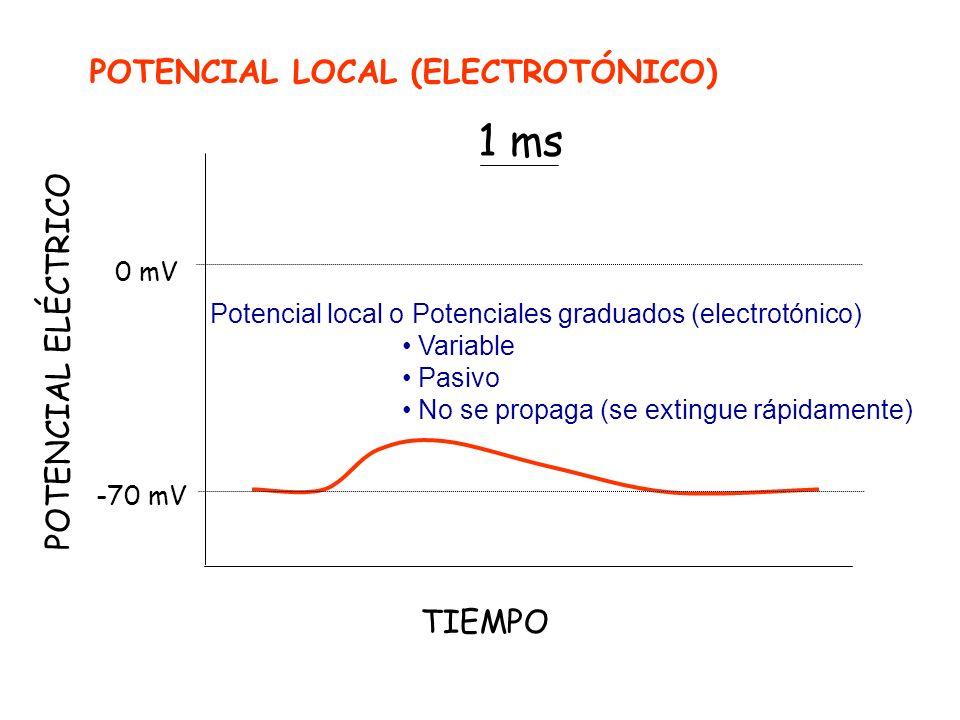 POTENCIAL ELÉCTRICO -70 mV 0 mV TIEMPO 1 ms POTENCIAL LOCAL (ELECTROTÓNICO) Potencial local o Potenciales graduados (electrotónico) Variable Pasivo No se propaga (se extingue rápidamente)