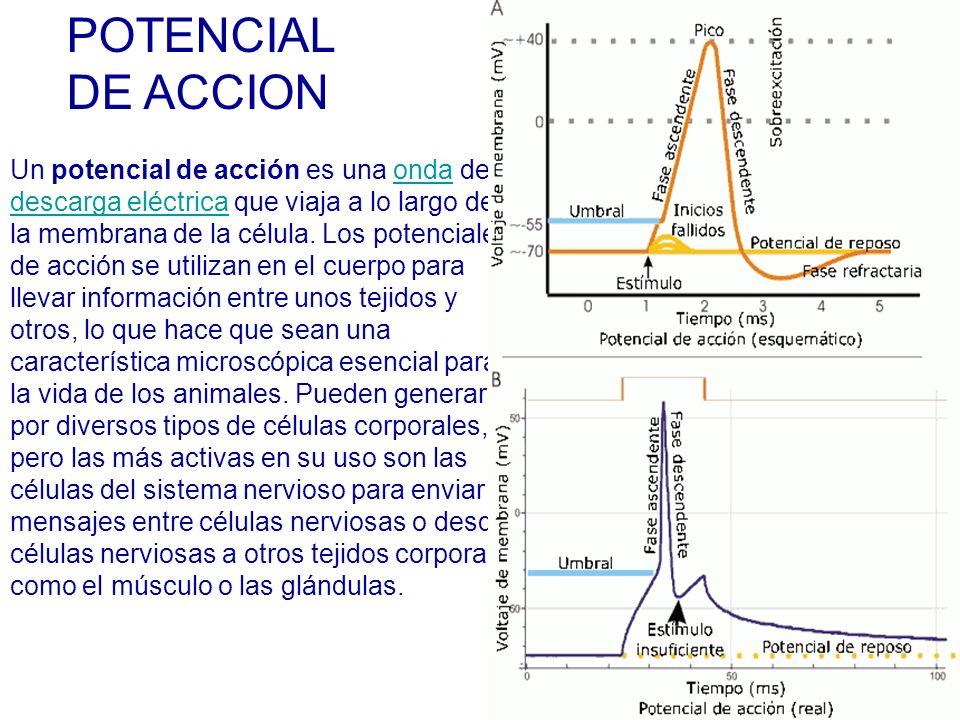 Un potencial de acción es una onda deonda descarga eléctricadescarga eléctrica que viaja a lo largo de la membrana de la célula.