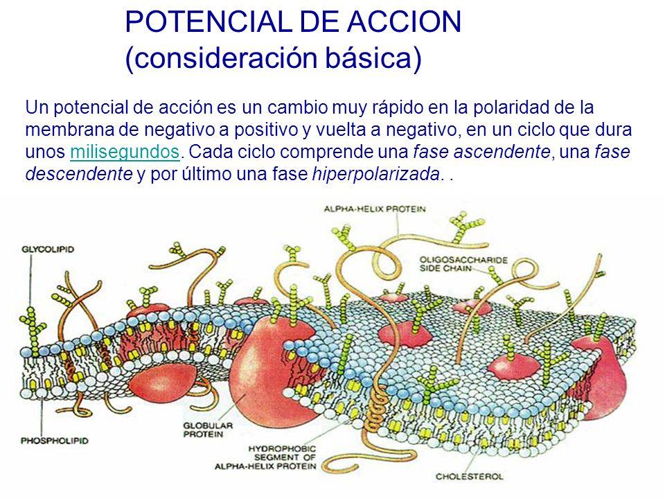 Un potencial de acción es un cambio muy rápido en la polaridad de la membrana de negativo a positivo y vuelta a negativo, en un ciclo que dura unos milisegundos.