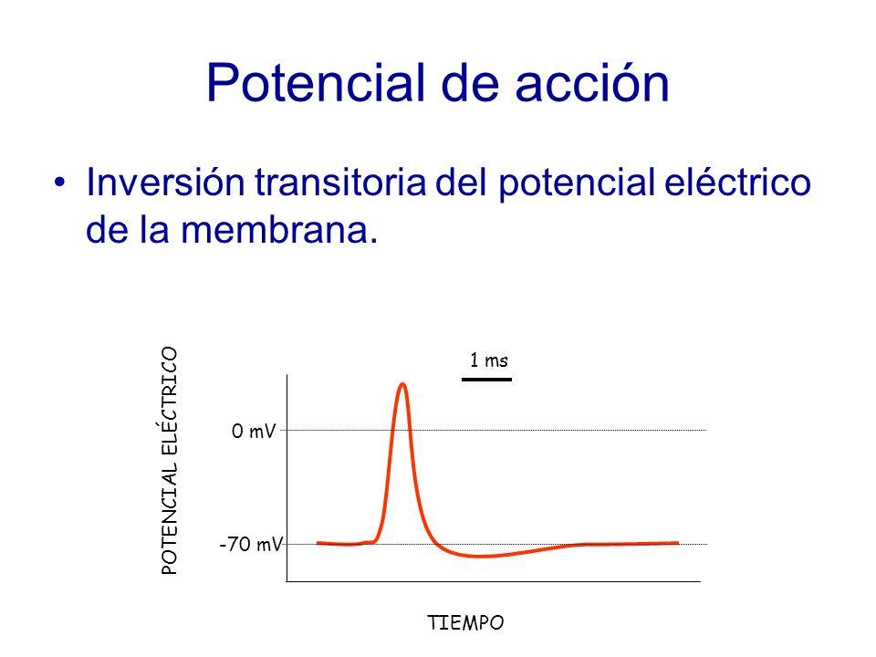 Potencial de acción Inversión transitoria del potencial eléctrico de la membrana.