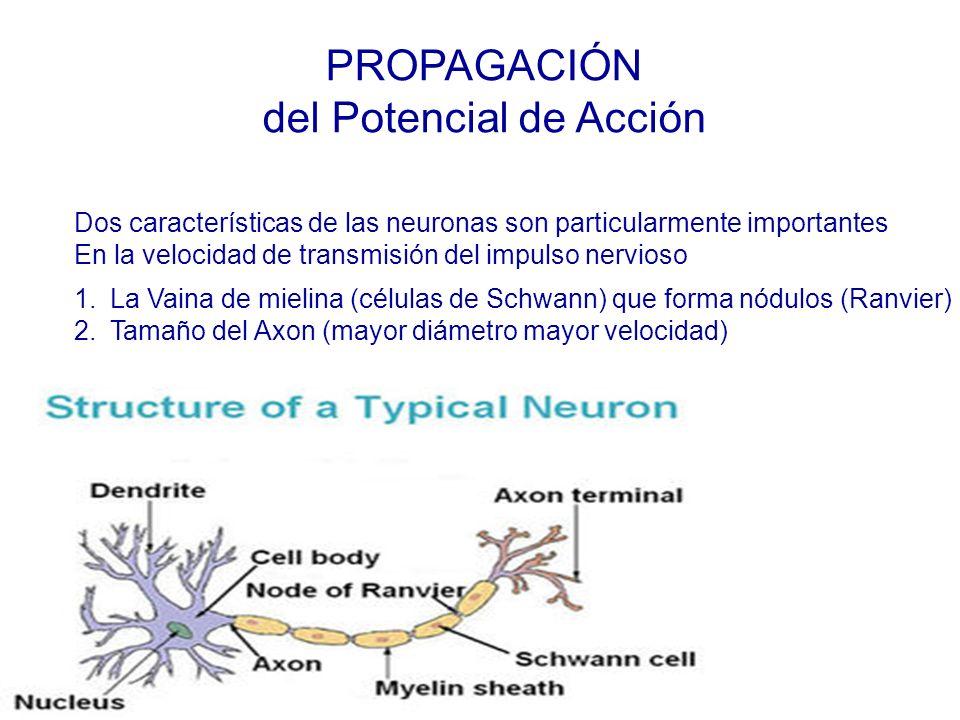 PROPAGACIÓN del Potencial de Acción Dos características de las neuronas son particularmente importantes En la velocidad de transmisión del impulso nervioso 1.La Vaina de mielina (células de Schwann) que forma nódulos (Ranvier) 2.Tamaño del Axon (mayor diámetro mayor velocidad)