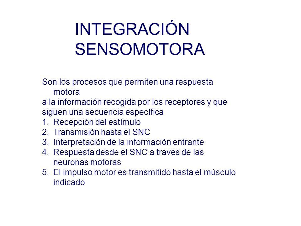 INTEGRACIÓN SENSOMOTORA Son los procesos que permiten una respuesta motora a la información recogida por los receptores y que siguen una secuencia específica 1.Recepción del estímulo 2.Transmisión hasta el SNC 3.Interpretación de la información entrante 4.Respuesta desde el SNC a traves de las neuronas motoras 5.El impulso motor es transmitido hasta el músculo indicado