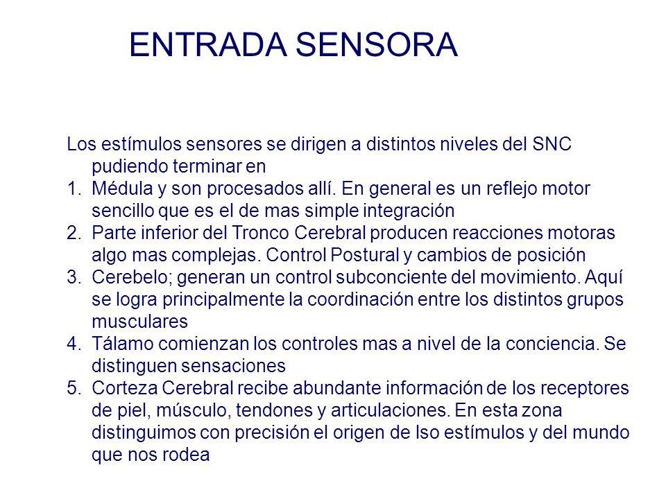 ENTRADA SENSORA Los estímulos sensores se dirigen a distintos niveles del SNC pudiendo terminar en 1.Médula y son procesados allí.