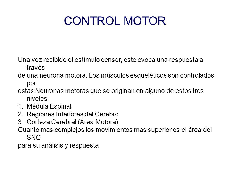 CONTROL MOTOR Una vez recibido el estímulo censor, este evoca una respuesta a través de una neurona motora.