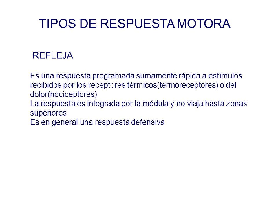 TIPOS DE RESPUESTA MOTORA Es una respuesta programada sumamente rápida a estímulos recibidos por los receptores térmicos(termoreceptores) o del dolor(nociceptores) La respuesta es integrada por la médula y no viaja hasta zonas superiores Es en general una respuesta defensiva REFLEJA