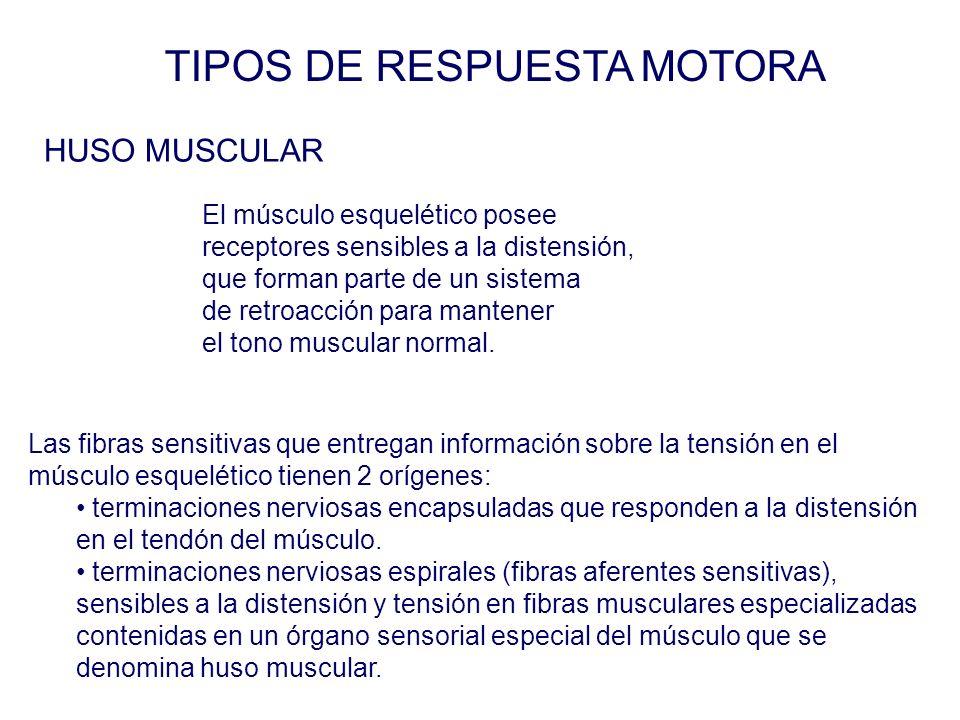 TIPOS DE RESPUESTA MOTORA Las fibras sensitivas que entregan información sobre la tensión en el músculo esquelético tienen 2 orígenes: terminaciones nerviosas encapsuladas que responden a la distensión en el tendón del músculo.