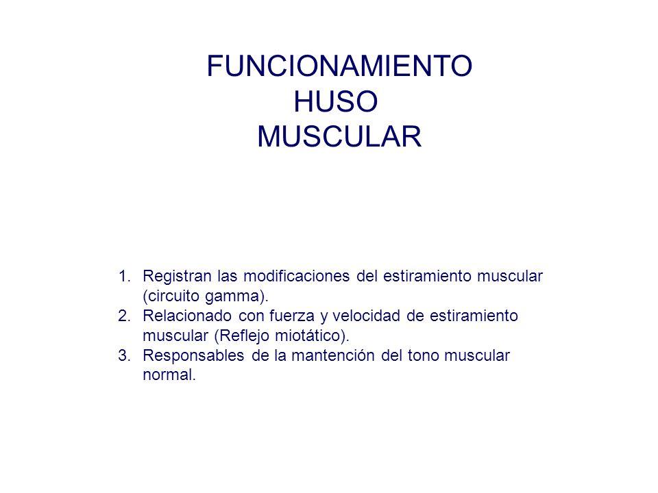 FUNCIONAMIENTO HUSO MUSCULAR 1.Registran las modificaciones del estiramiento muscular (circuito gamma).
