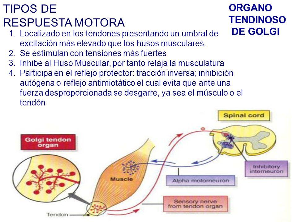 TIPOS DE RESPUESTA MOTORA 1.Localizado en los tendones presentando un umbral de excitación más elevado que los husos musculares.