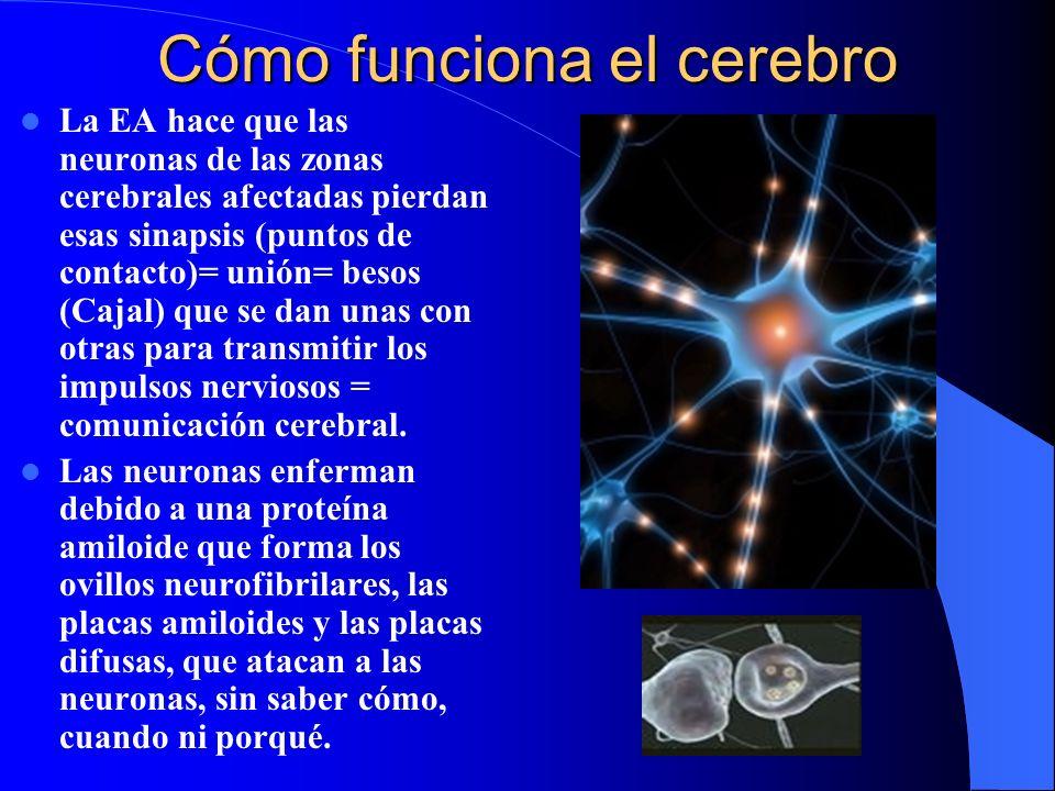 Cómo funciona el cerebro La EA hace que las neuronas de las zonas cerebrales afectadas pierdan esas sinapsis (puntos de contacto)= unión= besos (Cajal) que se dan unas con otras para transmitir los impulsos nerviosos = comunicación cerebral.