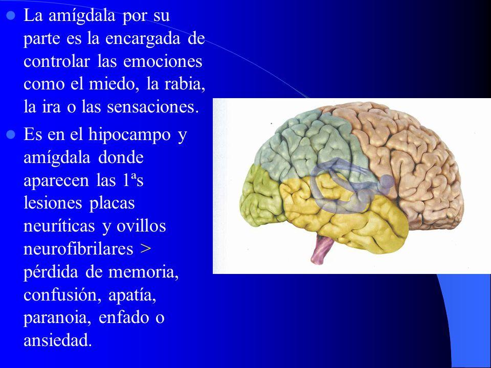 La amígdala por su parte es la encargada de controlar las emociones como el miedo, la rabia, la ira o las sensaciones. Es en el hipocampo y amígdala d