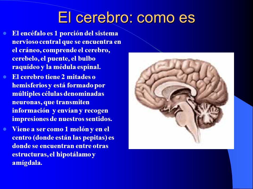 El cerebro: como es El encéfalo es 1 porción del sistema nervioso central que se encuentra en el cráneo, comprende el cerebro, cerebelo, el puente, el bulbo raquídeo y la médula espinal.
