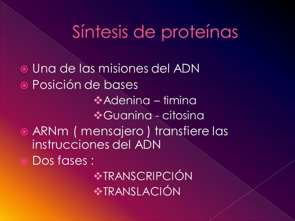 Una de las misiones del ADN Posición de bases Adenina – timina Guanina - citosina ARNm ( mensajero ) transfiere las instrucciones del ADN Dos fases : TRANSCRIPCIÓN TRANSLACIÓN