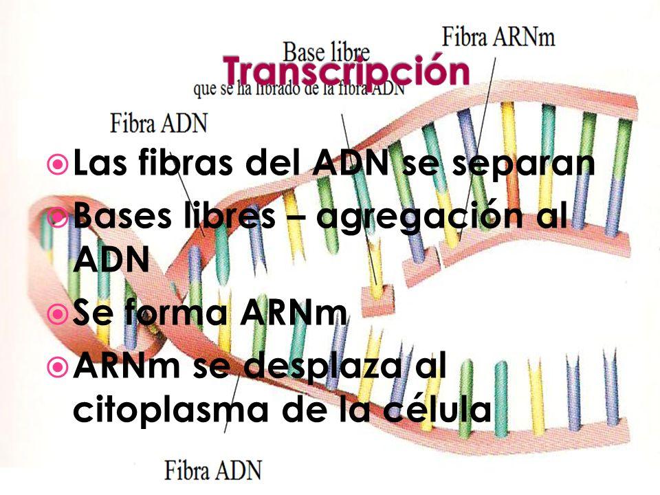 Las fibras del ADN se separan Bases libres – agregación al ADN Se forma ARNm ARNm se desplaza al citoplasma de la célula