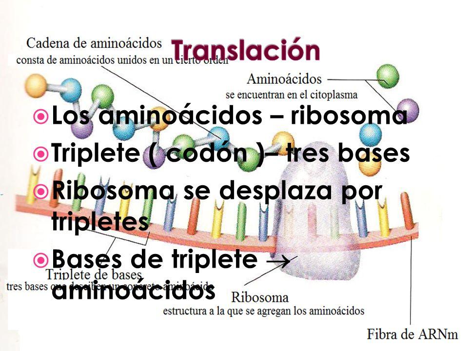 Los aminoácidos – ribosoma Triplete ( codón )– tres bases Ribosoma se desplaza por tripletes Bases de triplete aminoácidos