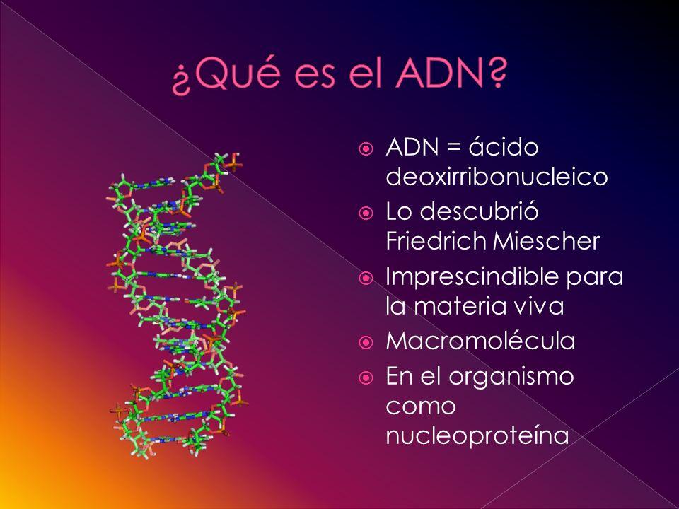 ADN = ácido deoxirribonucleico Lo descubrió Friedrich Miescher Imprescindible para la materia viva Macromolécula En el organismo como nucleoproteína