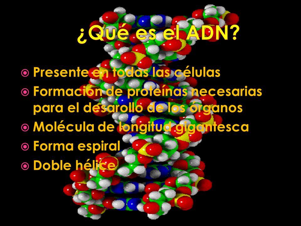 Presente en todas las células Formación de proteínas necesarias para el desarollo de los órganos Molécula de longitud gigantesca Forma espiral Doble h