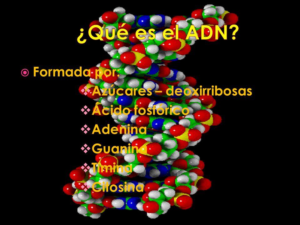 Formada por: Azúcares – deoxirribosas Ácido fosfórico Adenina Guanina Timina Citosina