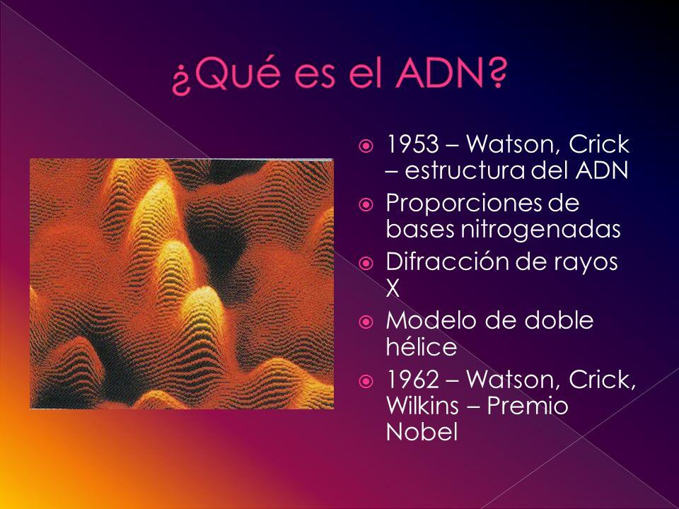1953 – Watson, Crick – estructura del ADN Proporciones de bases nitrogenadas Difracción de rayos X Modelo de doble hélice 1962 – Watson, Crick, Wilkins – Premio Nobel
