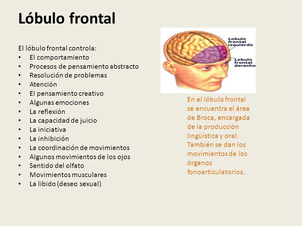 Lóbulo frontal El lóbulo frontal controla: El comportamiento Procesos de pensamiento abstracto Resolución de problemas Atención El pensamiento creativ