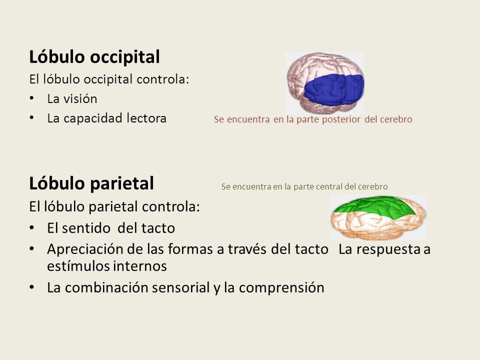 Lóbulo occipital El lóbulo occipital controla: La visión La capacidad lectora Se encuentra en la parte posterior del cerebro Lóbulo parietal Se encuen