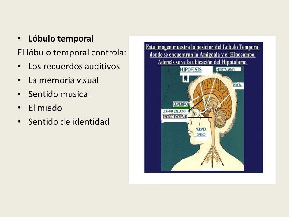 Lóbulo temporal El lóbulo temporal controla: Los recuerdos auditivos La memoria visual Sentido musical El miedo Sentido de identidad