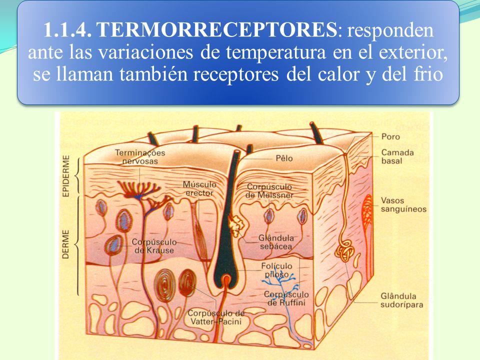 1.1.4. TERMORRECEPTORES: responden ante las variaciones de temperatura en el exterior, se llaman también receptores del calor y del frio