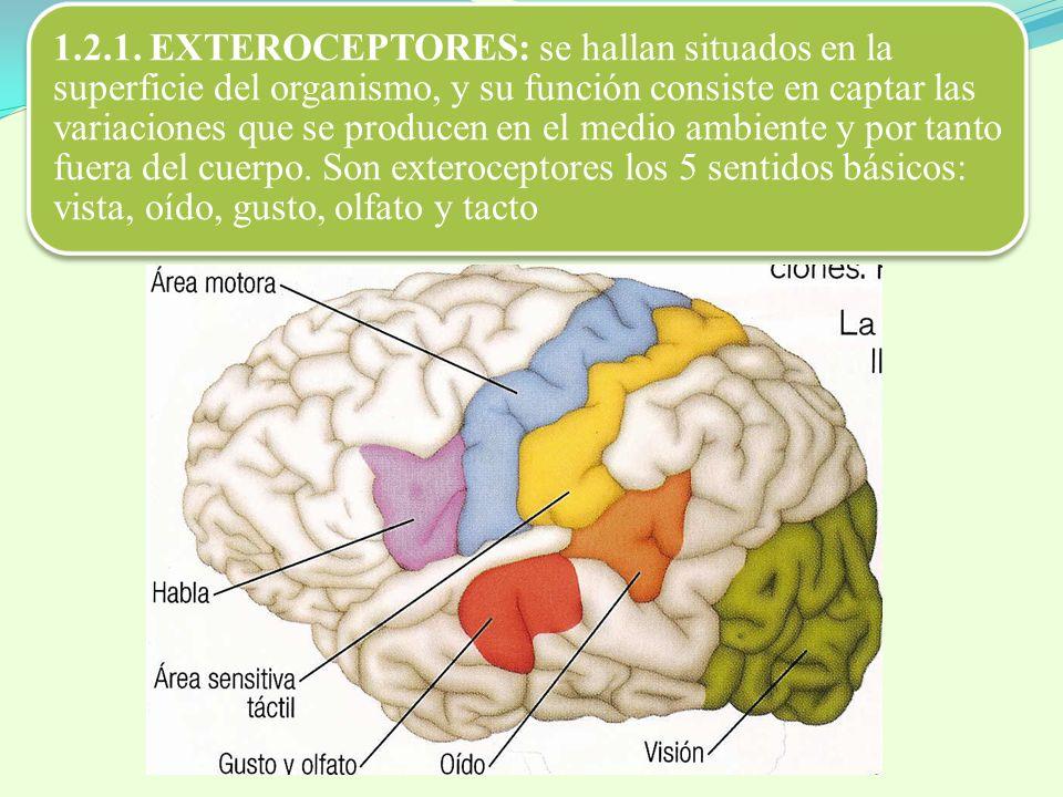 1.2.1. EXTEROCEPTORES: se hallan situados en la superficie del organismo, y su función consiste en captar las variaciones que se producen en el medio