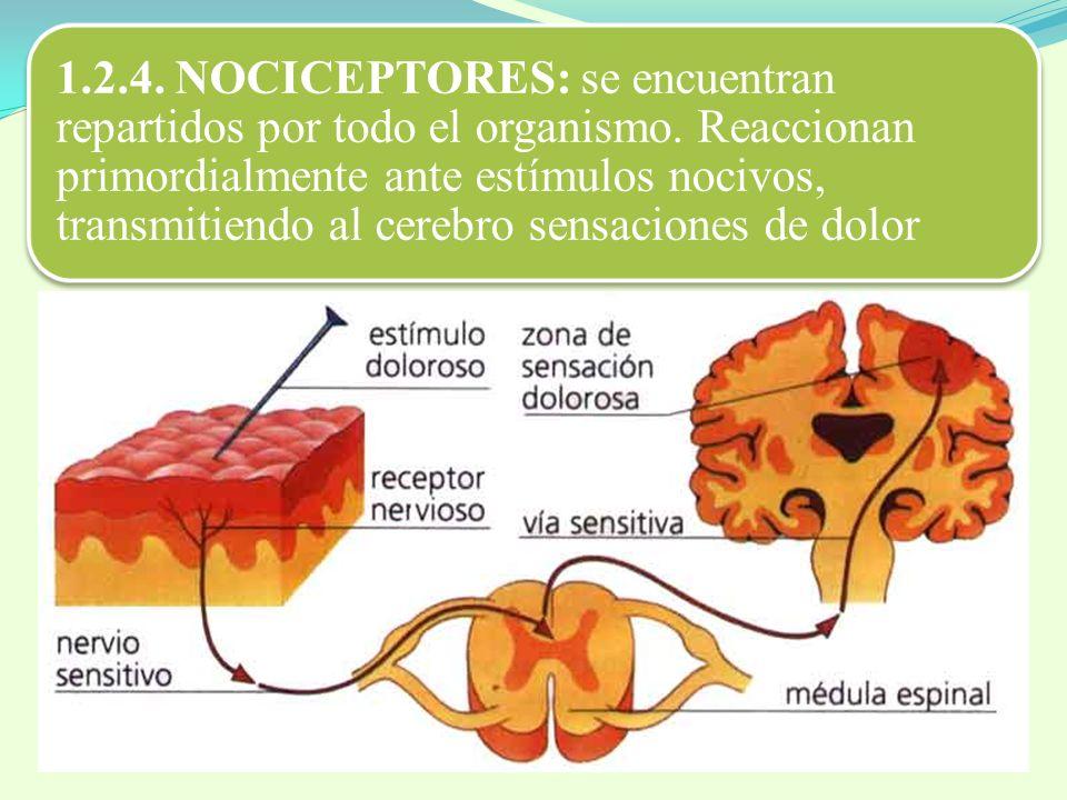 1.2.4. NOCICEPTORES: se encuentran repartidos por todo el organismo. Reaccionan primordialmente ante estímulos nocivos, transmitiendo al cerebro sensa