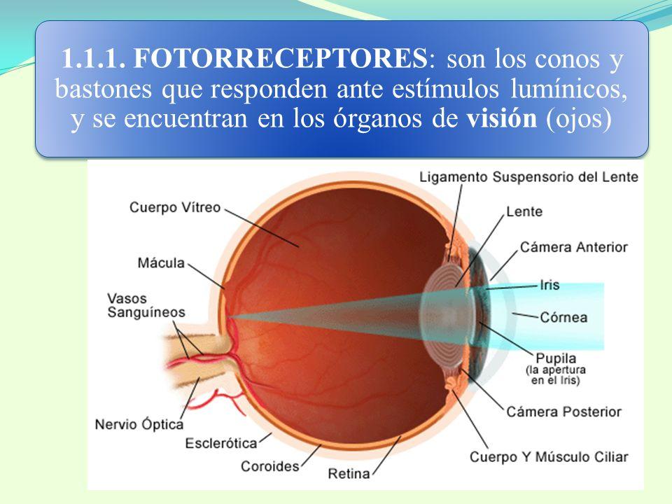 1.1.1. FOTORRECEPTORES: son los conos y bastones que responden ante estímulos lumínicos, y se encuentran en los órganos de visión (ojos)