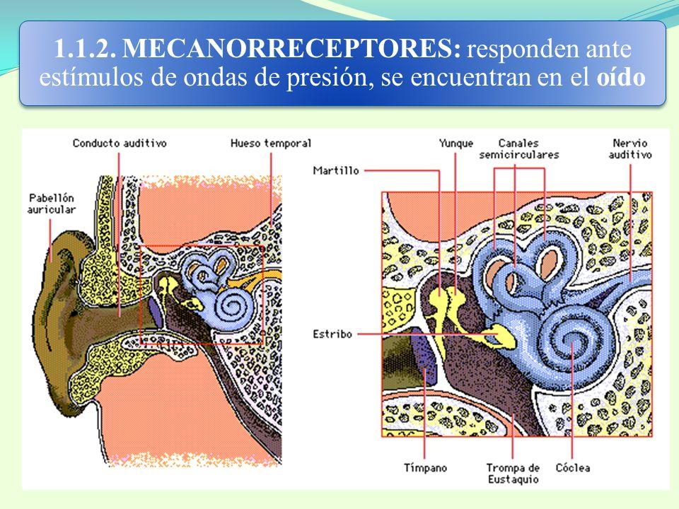 1.1.2. MECANORRECEPTORES: responden ante estímulos de ondas de presión, se encuentran en el oído