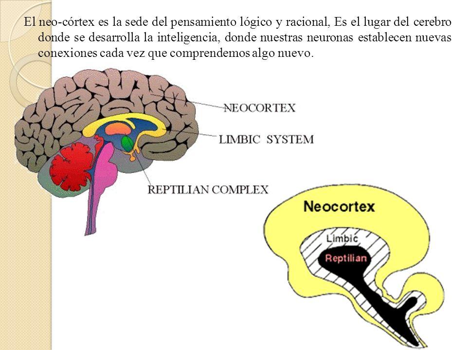 El neo-córtex es la sede del pensamiento lógico y racional, Es el lugar del cerebro donde se desarrolla la inteligencia, donde nuestras neuronas estab