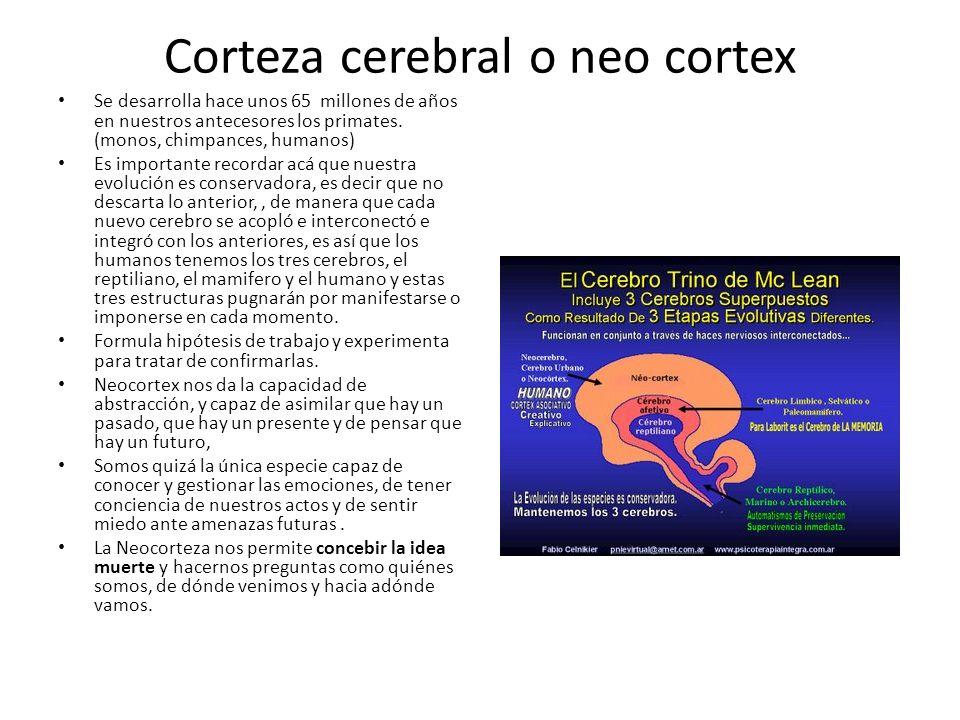 Corteza cerebral o neo cortex Se desarrolla hace unos 65 millones de años en nuestros antecesores los primates. (monos, chimpances, humanos) Es import
