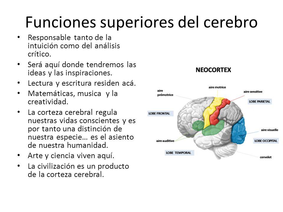 Funciones superiores del cerebro Responsable tanto de la intuición como del análisis crítico. Será aquí donde tendremos las ideas y las inspiraciones.