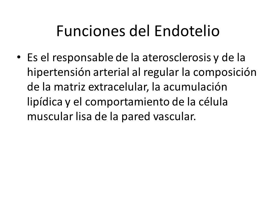 Funciones del Endotelio Es el responsable de la aterosclerosis y de la hipertensión arterial al regular la composición de la matriz extracelular, la a